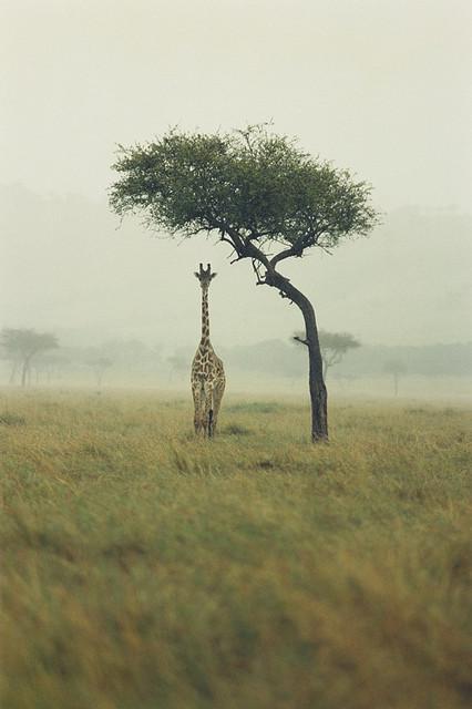Giraffe by Ichigo Sugawara